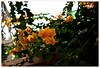 ^^^^^ (bebe0o0) Tags: flowers flower وردة ورود زهرة ورد ورده وردتي أصفر أزهار الجهنمية bebe0o0
