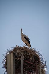 Cicogna (andrea.prave) Tags: morocco fez maroc marocco stork fes  cicogna almamlaka   visitmorocco almaghribiyya tourdelmarocco