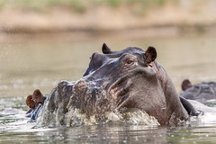 Rocking Up (Thomas Retterath) Tags: africa travel animals canon tiere wildlife urlaub ngc lagoon safari npc afrika hippo hippopotamus botswana mammals allrightsreserved herbivore 2014 flusspferd hippopotamusamphibius säugetier 600mm hippopotamidae pflanzenfresser kwando specanimal 20tc canoneos7d thomasretterath canonef300lis28usm copyrightthomasretterath