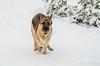 23122014-_DSC2530 (Linus_west) Tags: dog snow playing running hund springer snö leker karis kamu
