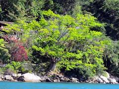 rvore na Praia da Lula (Mrcio Vincius Pinheiro) Tags: light brazil tree verde green luz nature brasil paraty natural natureza gimp parati vegetation rvore vegetao praiadalula baadeparaty baadailhagrande