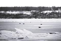 Seagulls (Chris Whit) Tags: blackandwhite bw seagulls snow cold bird ice water birds frozen blackwhite freezing hudsonriver chilly hudson greyscale brisk hudsonvalley saugertiesny maldenny