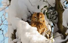 Waldkauz im Winter / Strix aluco / tawny owl (Bernd Götz) Tags: münchen bayern deutschland waldkauz winter nymphenburgerpark strixaluco tawnyowl