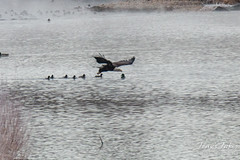 2 of 14 - Bald Eagle Fishing Sequence