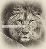 Warrior. LION FACE (Daniel Hernanz Ramos) Tags: lion warrior powerful barbary barbarylion lioneyes oldlion leondelatlas animalspictures animaldetailpictures animalsfacetoface animallioninblackandwhite
