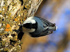 white-breasted nuthatch at Palisades Park, Decorah, IA IMG_7697 (lreis_naturalist) Tags: park county reis iowa larry nuthatch decorah palisades whitebreasted winneshiek