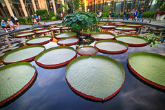 Giant Lilypads at Longwood Gardens, Pennsylvania (` Toshio ') Tags: people nature water garden pennsylvania patterns wideangle pa aquatic lilypad longwoodgardens toshio