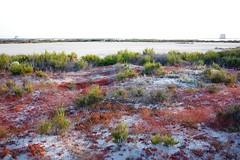 Salinas y Arenales de San Pedro del Pinatar 8618 (Gabriel Navarro Carretero) Tags: sand plantas salinas sandbanks saltworks arenales sanpedrodelpinatar