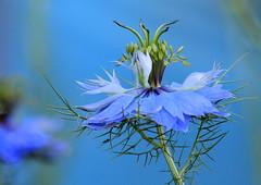 Lost in Blue (maria xenou~photodromos~) Tags: blue flower closeup garden petals seeds bloom blau wildflower garten pfingsten  heilpflanzen    magicnature wildeblumen    magischenatur canoneos1100d