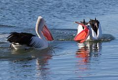 That loving feeling again (christinaportphotography) Tags: pink blue wild bird birds focus free australia pelican nsw centralcoast courting australianpelican pelicansconspicillatus