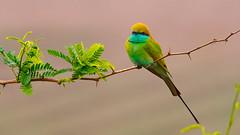 Green Bee Eater (Dr. Farhan) Tags: pakistan green bird nature wildlife bee eater beeeater