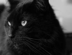 Blitz (WillemijnB) Tags: blackandwhite pet monochrome animal cat blackcat eyes kat chat depthoffield whiskers kater catface chatnoir snorharen zwartekat vibrisses chatdomestique moustachesdechat