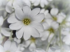 (Landanna) Tags: white flower nature natur natuur blomst wit hvid bloem