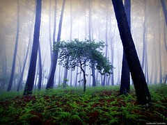 Spring (Guillermo Carballa) Tags: trees light mist green colors fog forest spring oak woods olympus pines ferns e1 carballa