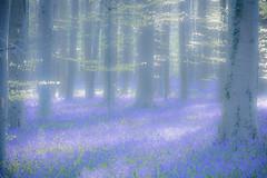 2016春紫色森林日出-8 (fengchi860602) Tags: 欧洲 春 风信子 比利时 布鲁塞尔