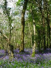 Bluebells (Janek Kloss) Tags: ireland abbey bluebells spring woods moore bluebell kildare 2016 monasterevin