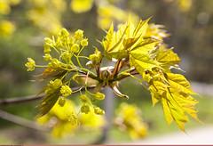 (Nickolas Titkov) Tags: spring maple may acer flowering sokolniki    sapindaceae    acereae