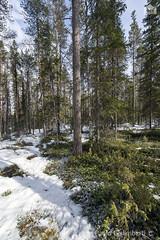 Foresta, forest (paolo.gislimberti) Tags: wood trees snow alberi forest finland landscapes neve paesaggi thaw conifers finlandia bosco foresta undergrowth sottobosco conifere disgelo primaverafinlandese finnishspring