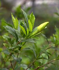 IMG_8673.CR2 (jalexartis) Tags: flowers flower spring fragrant bloom blooms shrub gardenia shrubbery