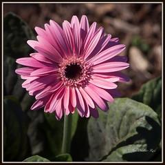 Gerbera (idunbarreid) Tags: pink gerbera doublefantasy