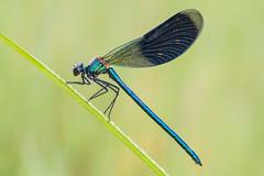 Calopteryx splendens (Prajzner) Tags: morning macro nature sigma naturallight damselfly odonata sigma105mmmacro bandeddemoiselle calopteryxsplendens photonature nikond7100 velbonmagslider prajzner manfrottomt190xpro3