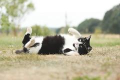 (nettisrb) Tags: cat chat kitty gato felino katze gota katzen gatti kot ktzchen felin kotka katte