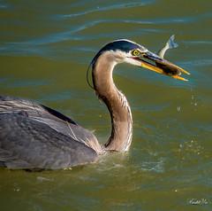 breakfast  (T.ye) Tags: blue portrait fish bird heron water animal outside big fishing outdoor wildlife great todd ye