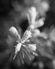 Evergreen Tips (lclower19) Tags: bw white black bokeh evergreen tip odt hmbt