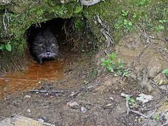 """Faune Acignolaise  . . .   20/52 - thème """" Wildlife """". (Daniel.35690) Tags: france wildlife bretagne faune 2052 52weeks acigné 52weeksthe2016edition fauneacignolaise week202016"""