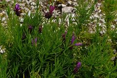 Mai Botanik - 2016-0020_Web (berni.radke) Tags: may growth mai botany botanicalgarden mnster botanik botanischergarten wachstum