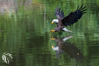 Bald Eagles of Swimming River | 2016 - 24