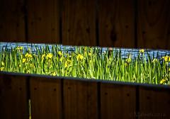 Iris Slice (Mabvith) Tags: uk iris england yellow fence view gap slice slot silverdale carnforth rspb leightonmoss flagiris