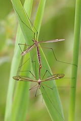 Tipula lateralis (AglaiaBouma) Tags: macro nature insect daddy fly crane insects longlegs diptera langpootmug