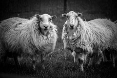 56/100x - Woolly Duo (Nomis.) Tags: canon eos 700d t5i rebel canon700d canoneos700d rebelt5i canonrebelt5i monochrome mono bw blackandwhite 100x 100xthe2016edition 100x2016 image56100 sk201606248287editlr sk201606248287 lightroom wales sheep baa