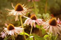 Withering (kristin.mockenhaupt) Tags: flower echinacea welken sonnenhüte