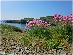 Sea Pinks on the cliffs (Kath Williams(Thanks for the Faves)) Tags: pink flowers beach nature wales thrift clifftop anglesey seapinks trearddurbay