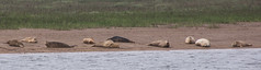 Seals - Boston Belle - Summer 2016 #2 (PontyCyclops) Tags: boston belle river cruise bird watching birdwatching tour the wash south lincs lincolnshire rspb royal society for protection of birds nature wildlife witham mudflats waders harbour seals seal basking