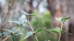 Triangular Leaves (Theen ...) Tags: adelaide adelaidephotography australian bridgewater brown buds bush englewoodreserve equilateral green group ivy leaves lumix meetup native orange pointy theen triangle vine