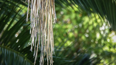 Platinum Blonde (Theen ...) Tags: adelaide blonde bokeh dead frond green hair hanging long lumix pale palm shallowdof theen tree yellow