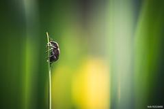 Une armure de guerrier (Naska Photographie) Tags: macro nature photo photographie vegetation paysage extrieur insectes proxy macrophoto photographe macrophotographie proxyphoto naska