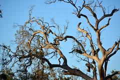 dying apple gum (dustaway) Tags: sky branches australia nsw australianlandscape dyingtree contortion branching myrtaceae northernrivers australiantrees richmondvalley angophorasubvelutina roughbarkedapplegum
