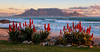 Table Mountain Aloes (Panorama Paul) Tags: sunset southafrica capetown tablemountain westerncape nikkorlenses nikfilters blaauwbergbeach nikond800 wwwpaulbruinscoza paulbruinsphotography floweringaloes