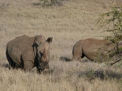 Rhinos ! (Mara 1) Tags: africa wild animals outdoors kenya wildlife rhinos shrub
