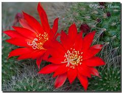 My cactus Flowers (Betty Vlasiu) Tags: flowers cactus my