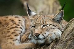 Luchs / Lynx (Burnett0305) Tags: canon canonef100400mmf4556lisusmii canoneos7dmarkii carnivora felidae feloidea hof katze katzen katzenartige kleinkatze kleinkatzen luchs luchse lynx mammalia raubtiere sugetiere zoohof