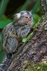 One of the two baby Common Marmosets recently born at Longleat Safari Park, now at 9 weeks old. (jim_2wilson) Tags: baby monkeys longleat marmoset commonmarmoset longleatsafaripark jimwilson sonya77 sony70400mmssmii