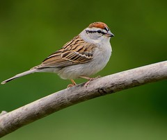 Chipping Sparrow 3604 (lady_with_thread) Tags: nature birds nikon sparrow chipping 70300vr d5100