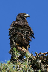 Bad Feather Day (20160704-160400-PJG) (DrgnMastr) Tags: fb cropped eagles baldeagles eaglets coth brilliantnature avianexcellence diamondclassphotographer flickrdiamond overtheexcellence goldwildlife naturesspirit damniwishidtakenthat naturescarousel dmslair sunshinegroup grouptags allrightsreserveddrgnmastrpjg pjgergelyallrightsreserved ia19