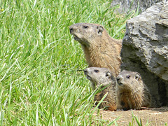 Ground Hog Family 2 (Photo Squirrel) Tags: family baby grass rock mammal mother woodchuck groundhog whistlepig marmotamonax