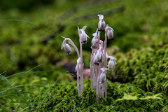 Indian Pipes Blooming on Sphagnum Moss (Bindu&Sudhir) Tags: monotropa uniflora indian pipes ghost plant boreal life trail bog paul smith college adirondacks mountains new york wildflower